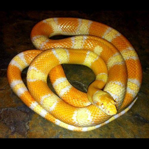 Sina Corn (SC207F) | Reptiles | Snake, Corn snake, Sea snake
