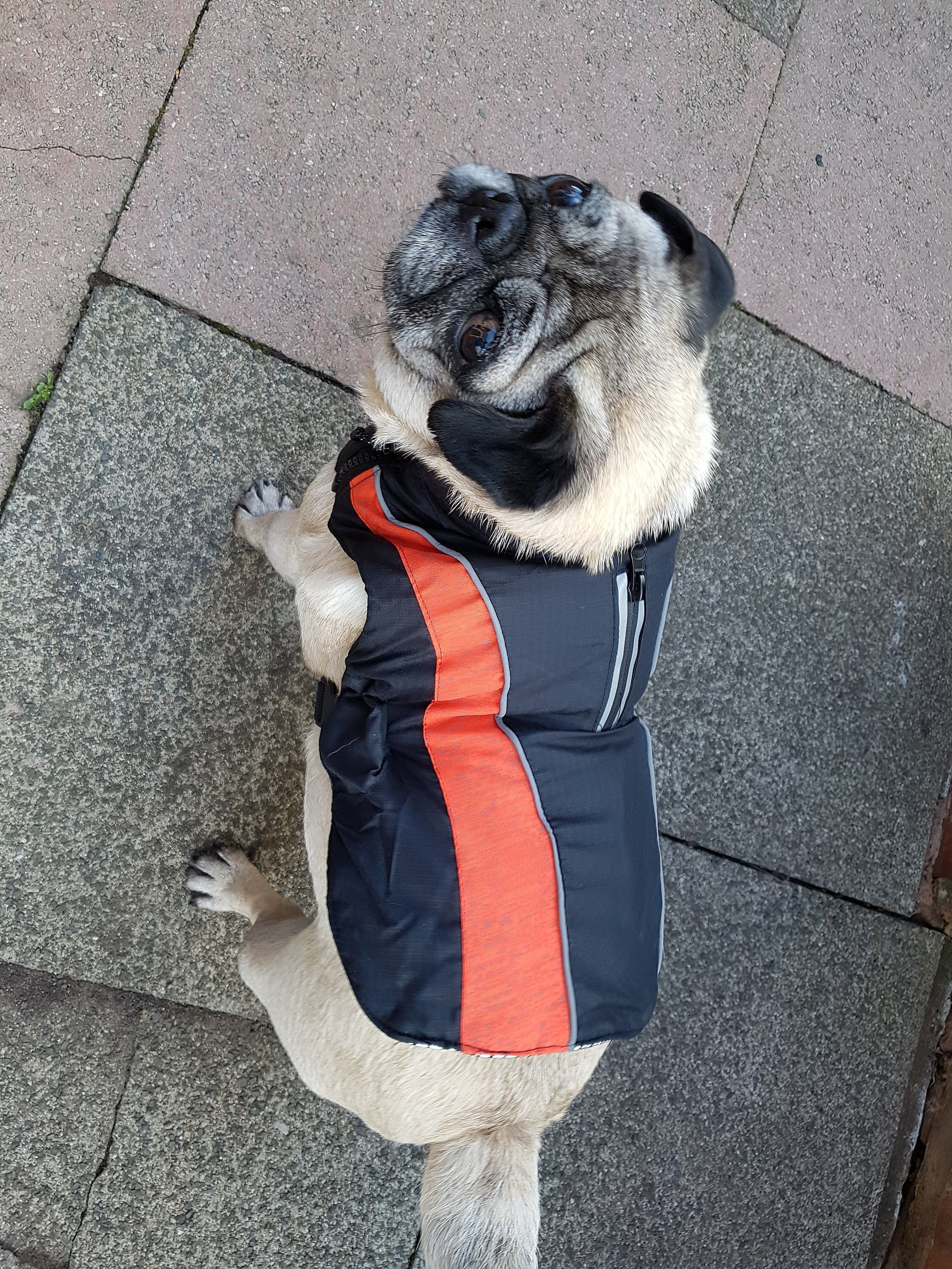 Thermal Winter Dog Coat Shower Proof Thermal Lining Fits Pug Jack