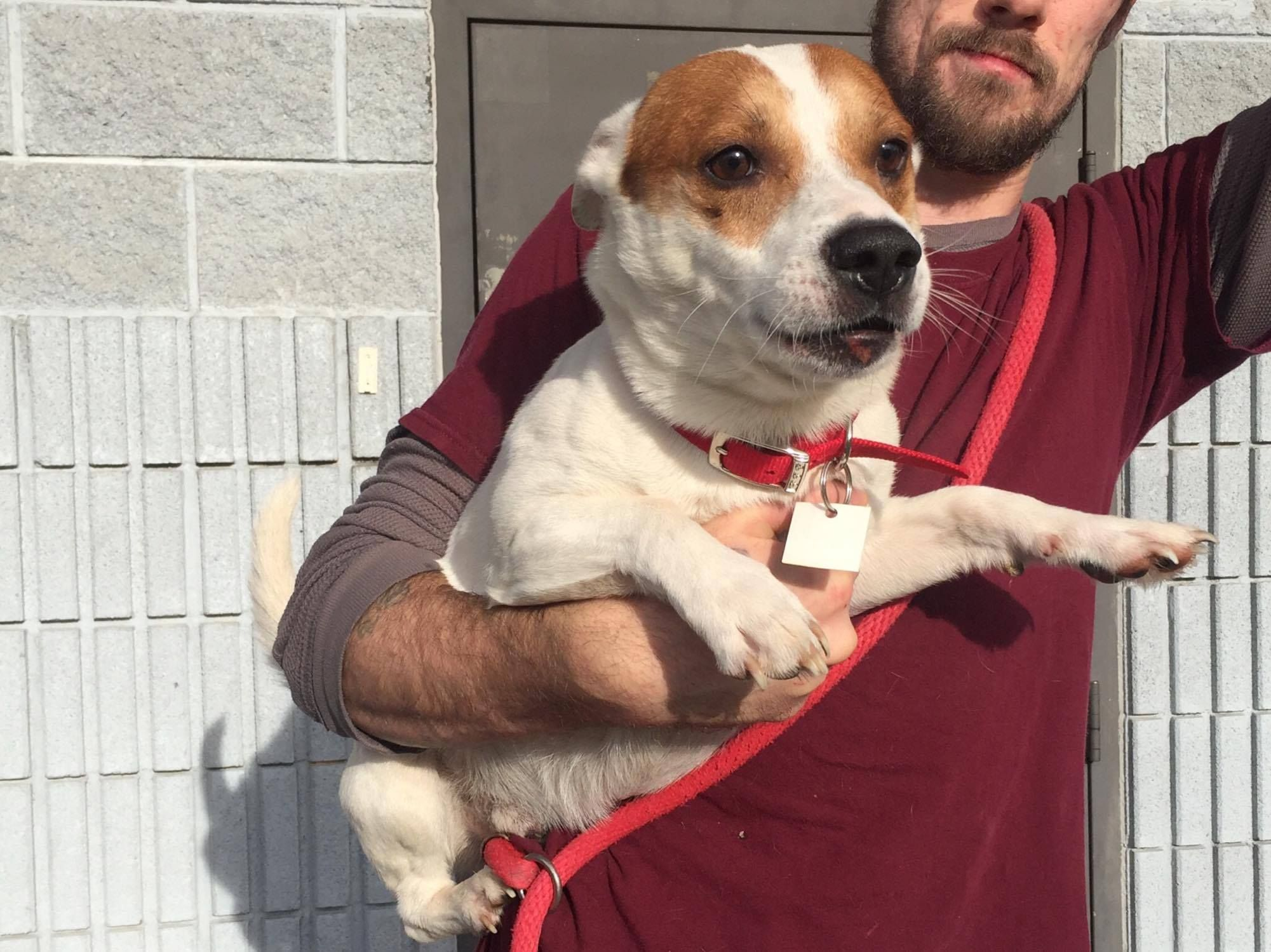 Jack Russell Terrier dog for Adoption in Beckley, WV. ADN