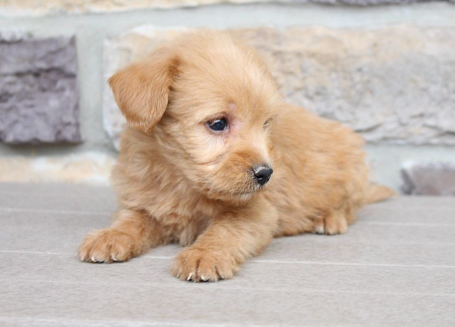 Lake Mini Labradoodle Puppies For Sale In New Haven Indiana