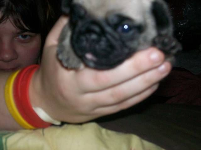 Free Teacup Pug Puppies Pug Puppies First Snow Pug Puppies