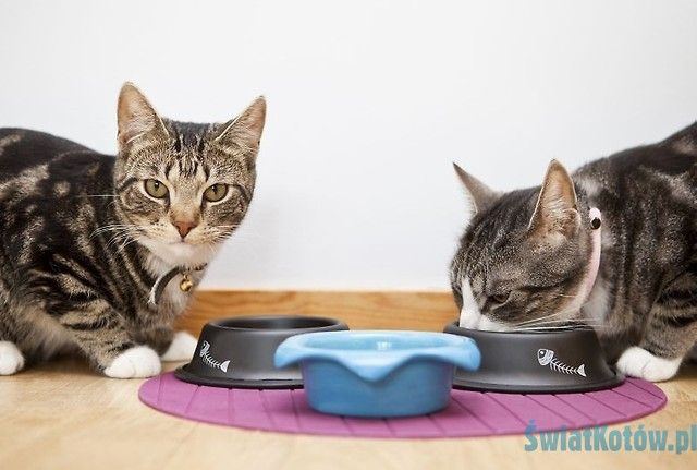 """Jak wytresować kota - poradnik: Żywienie kota cz. II - karma czy """"domowe"""" jedzenie?"""