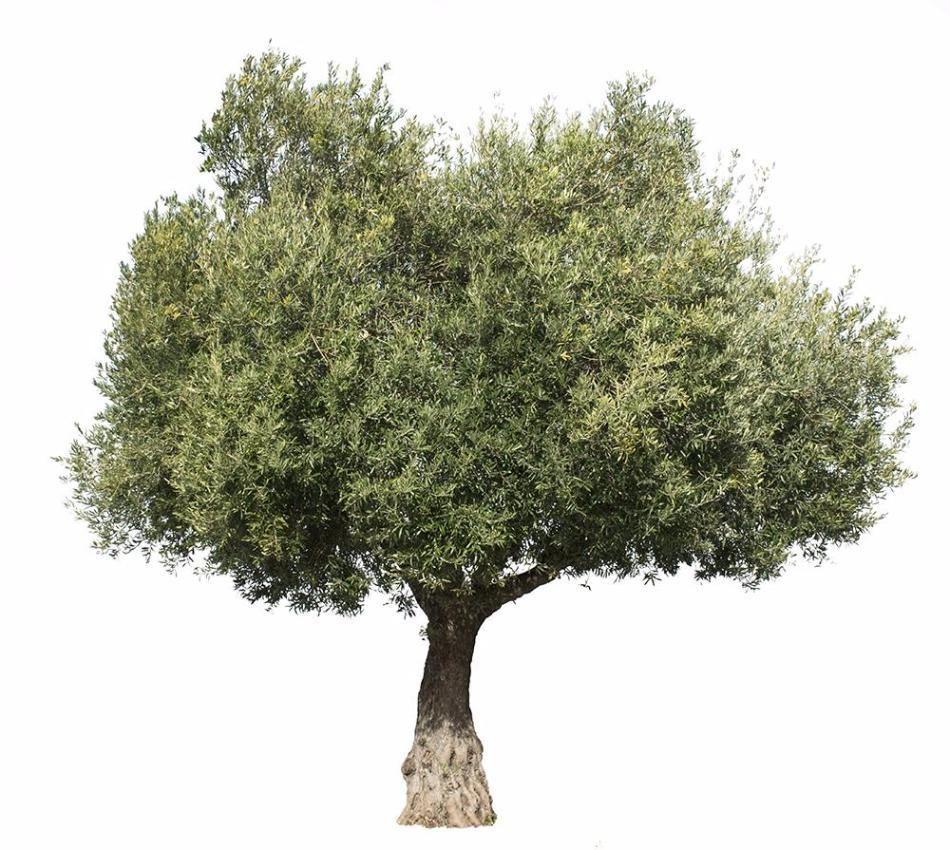 Olea Europaea Iii Tree Photoshop Olive Tree Tree Textures