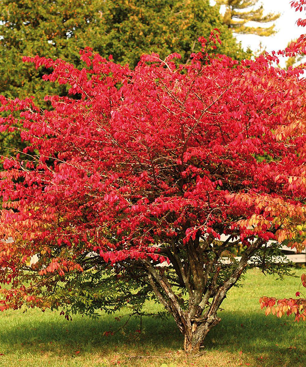 Van Zyverden Red Burning Bush Root Stock zulily