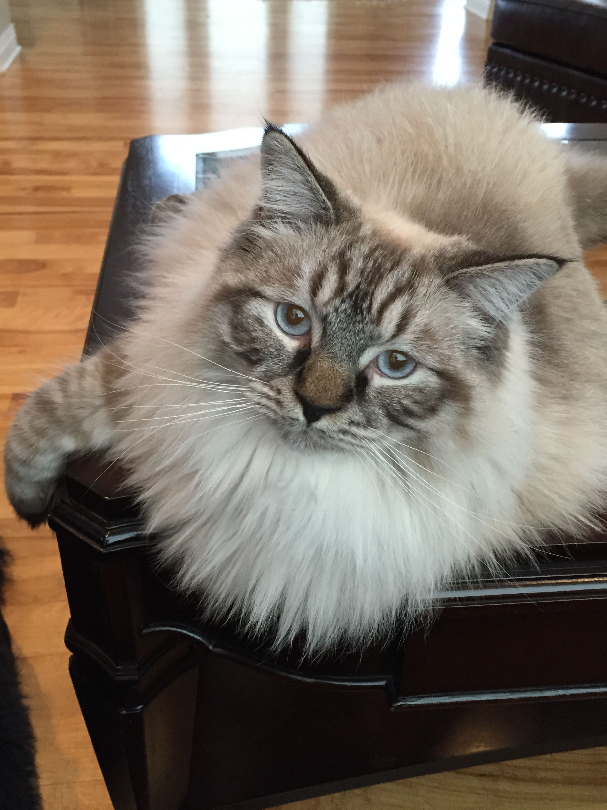 Hudson Our 11 Month Old Chocolate Lynx Point Ragdoll Cats And Kittens Ragdoll Cat Kittens