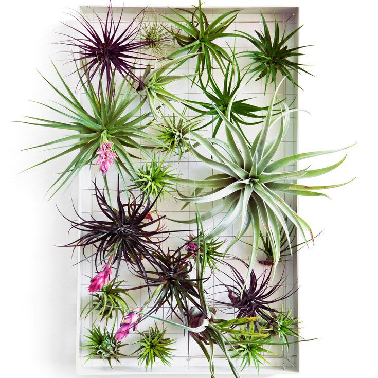 How to design with airplants Air plants, Plants, Air