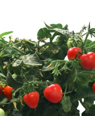 Aerogarden Mighty Mini Cherry Tomatoes 3 Pod Refill Kit 400 x 300