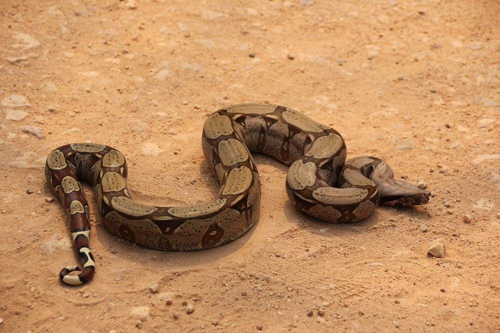 ブラジルの蛇 熱帯魚 動物 コリドラス