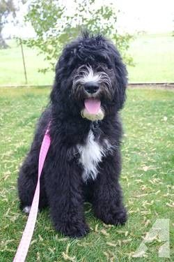 Image Result For Black Sheepadoodle With Images Sheepadoodle