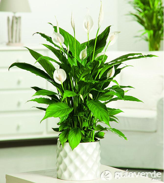 Spathiphyllum planta de interior peace lily pinterest for Plantas decorativas resistentes