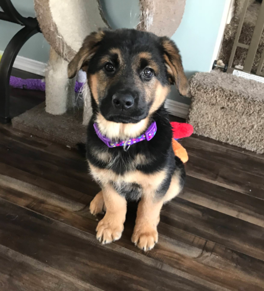 15 German Shepherd Mixes That Will Make You Say I Want One