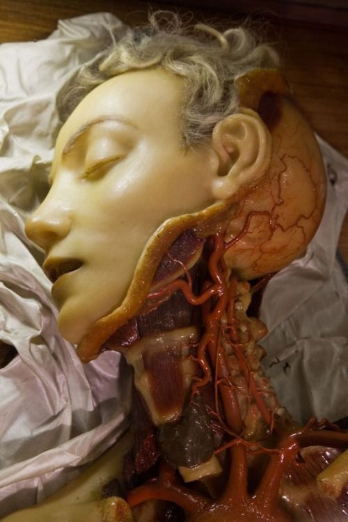 Anatomical Venus model used to medical science. (via herbert-best ...