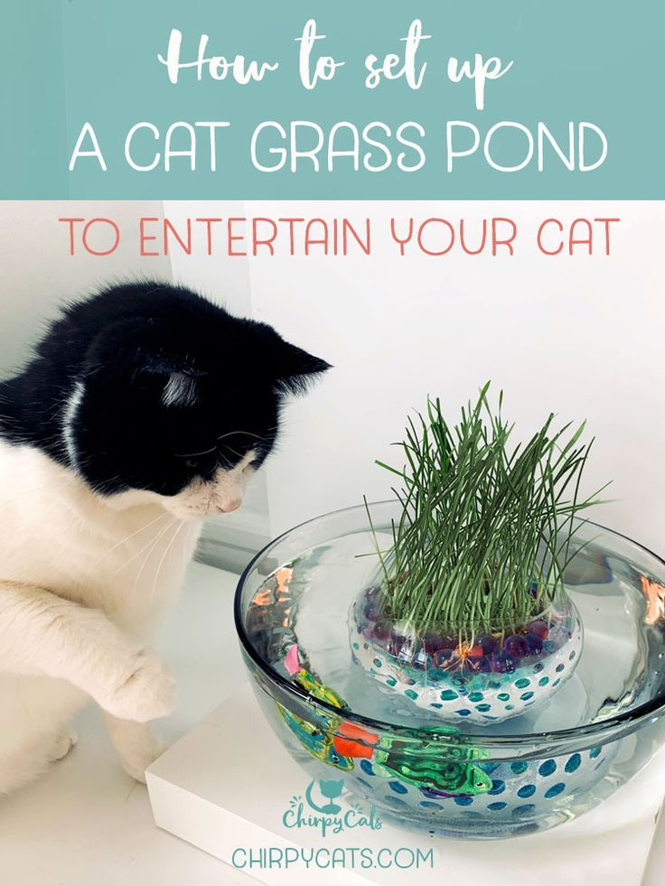 How to create this unique and fun interactive grass pond for your curious indoor cats. Using water beads to grow the cat grass, here are easy step-by-step instructions. A great cat enrichment activity that will keep your cats out of trouble. via @chirpycats