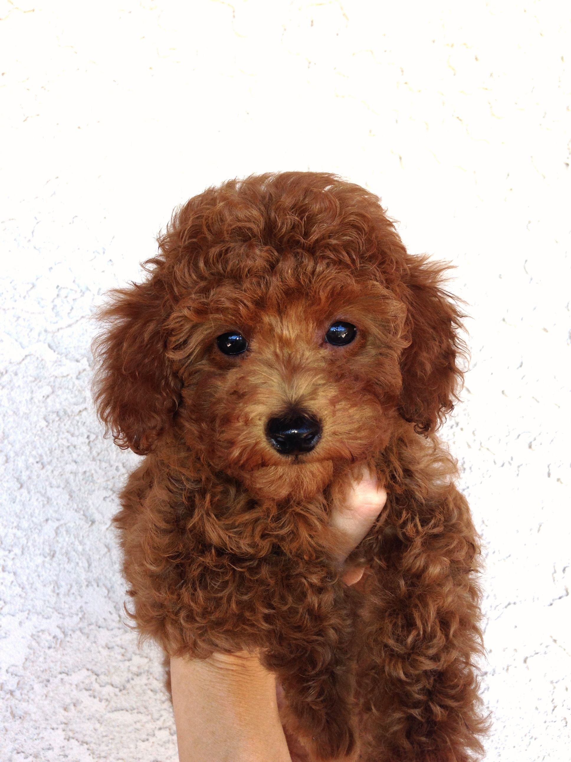 Little Boy West Coast Poodles Red Poodle Puppy Poodle Puppy