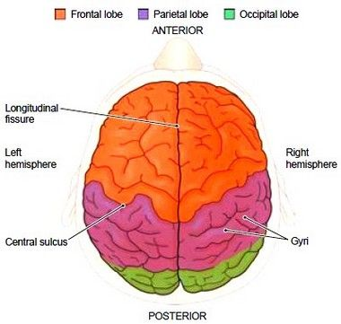The Brain The brain occupies the cranial cavity and is covered by ...