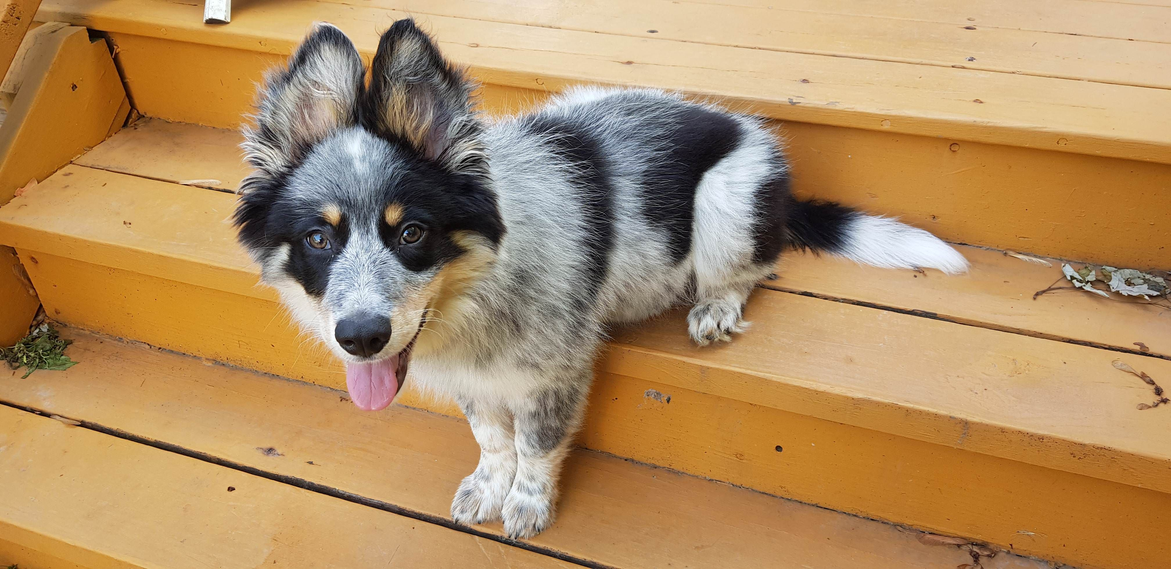 Over The Past Couple Days I Ve Seen Some Boarder Collies