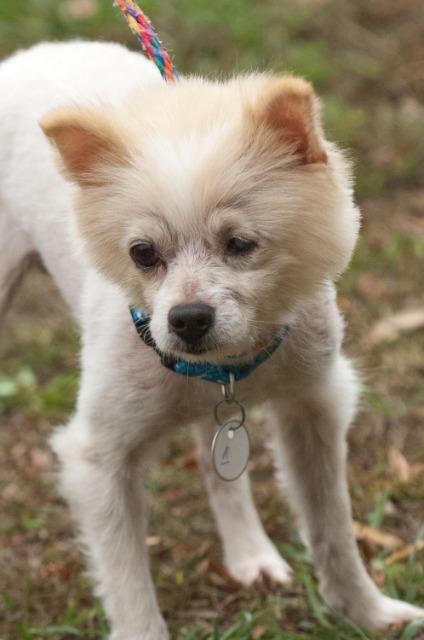 Pomeranian dog for Adoption in Johnson City, TN. ADN-717224 on PuppyFinder.com Gender: Male. Age: Adult