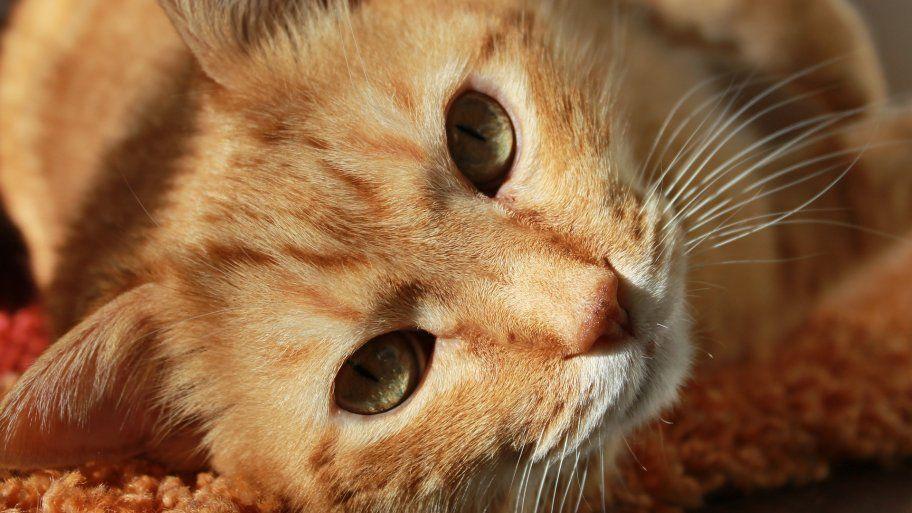 orange cat lying on carpet