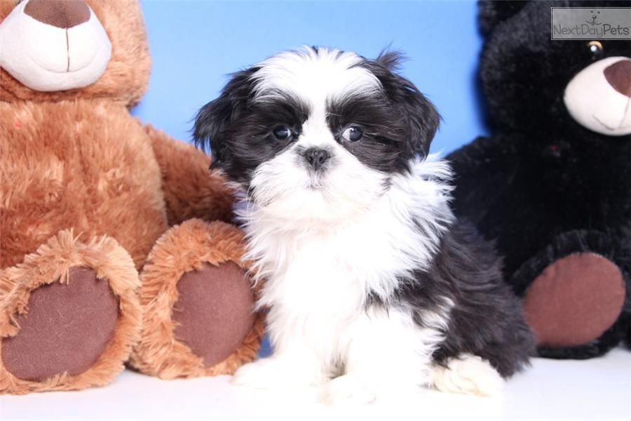 Meet Bandit A Cute Shih Tzu Puppy For Sale For 499 Bandit Male Aca Shih Tzu Cute Cats And Dogs Shih Tzu Dog Shih Tzu