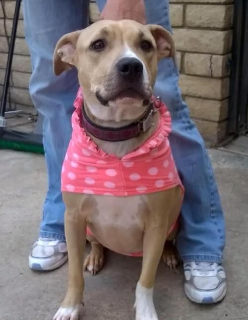 I Found Naya On Rescue Dogs Pet Adoption Pitbull Terrier