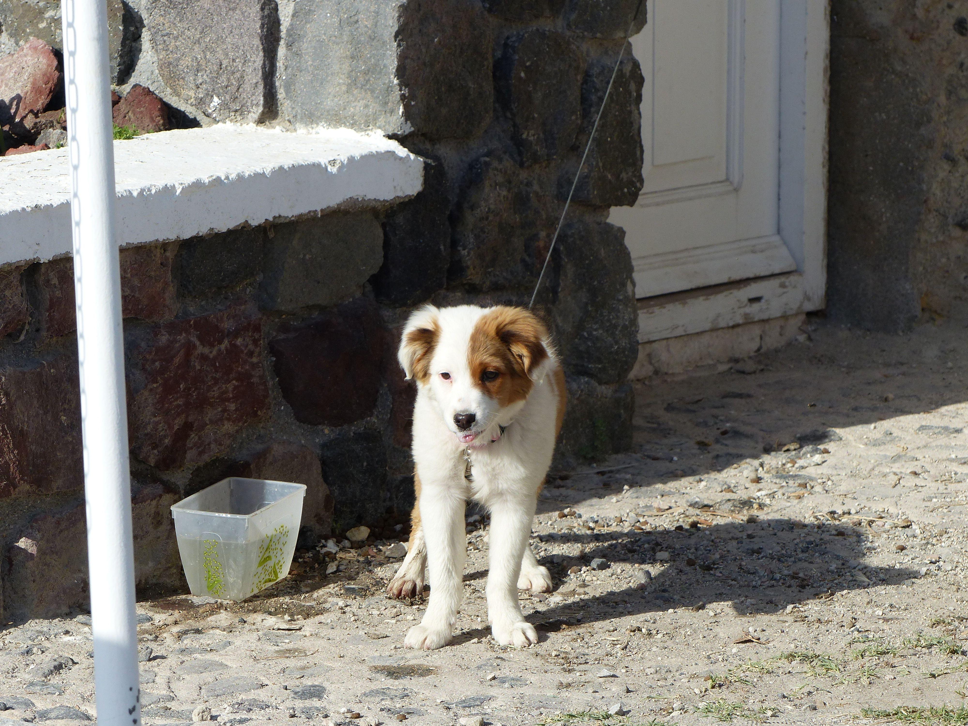 #dog #Santorini
