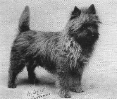 b. 1931 Cairn Terrier