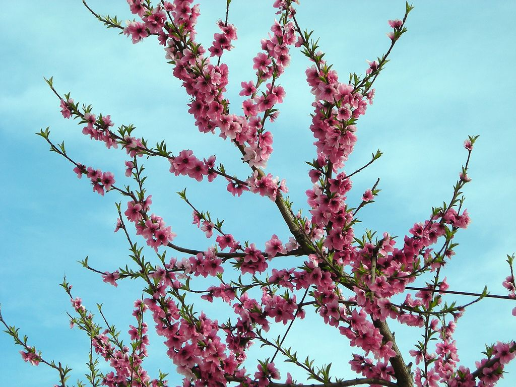 Pink blossoms.