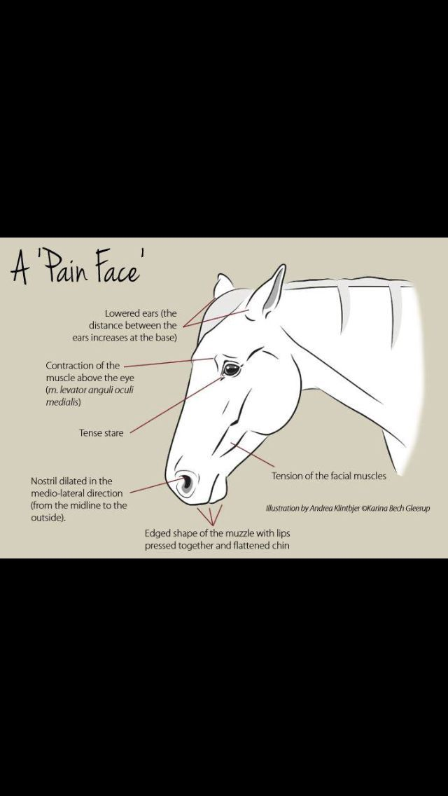 How to tell if your horse is in pain by facial expressions. | More ...