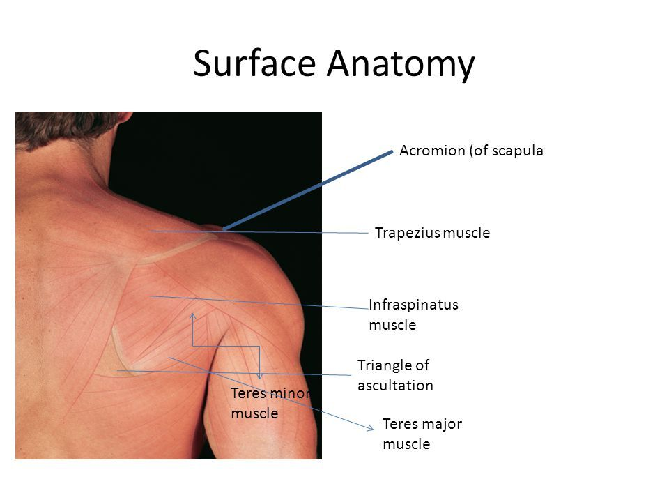Image Result For Acromion Of Scapula Surface Anatomy Anatomy