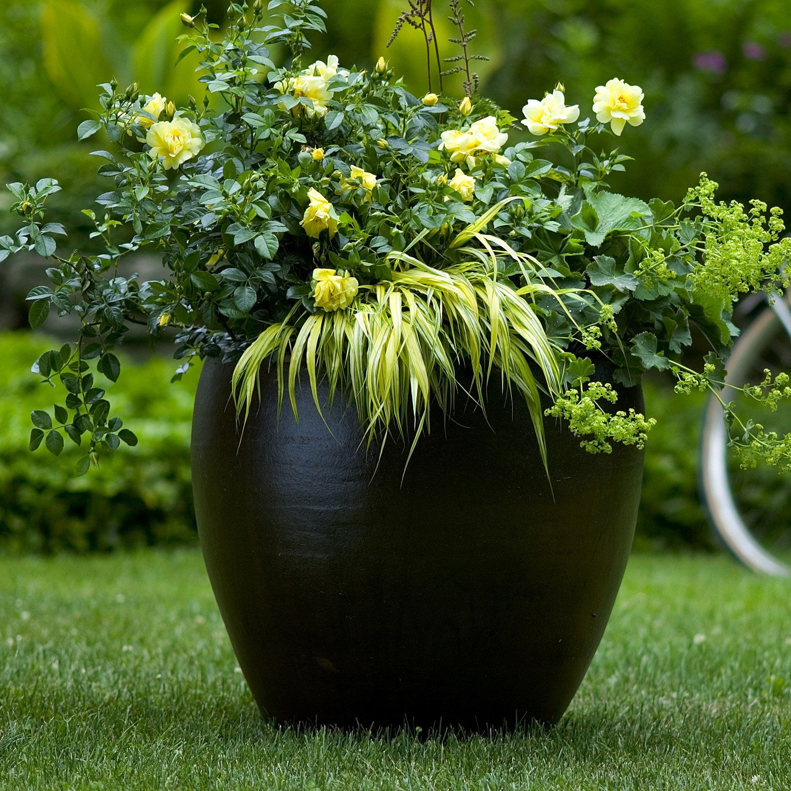Flower Carpet Yellow Hakonechloa Ladys Mantle In Container