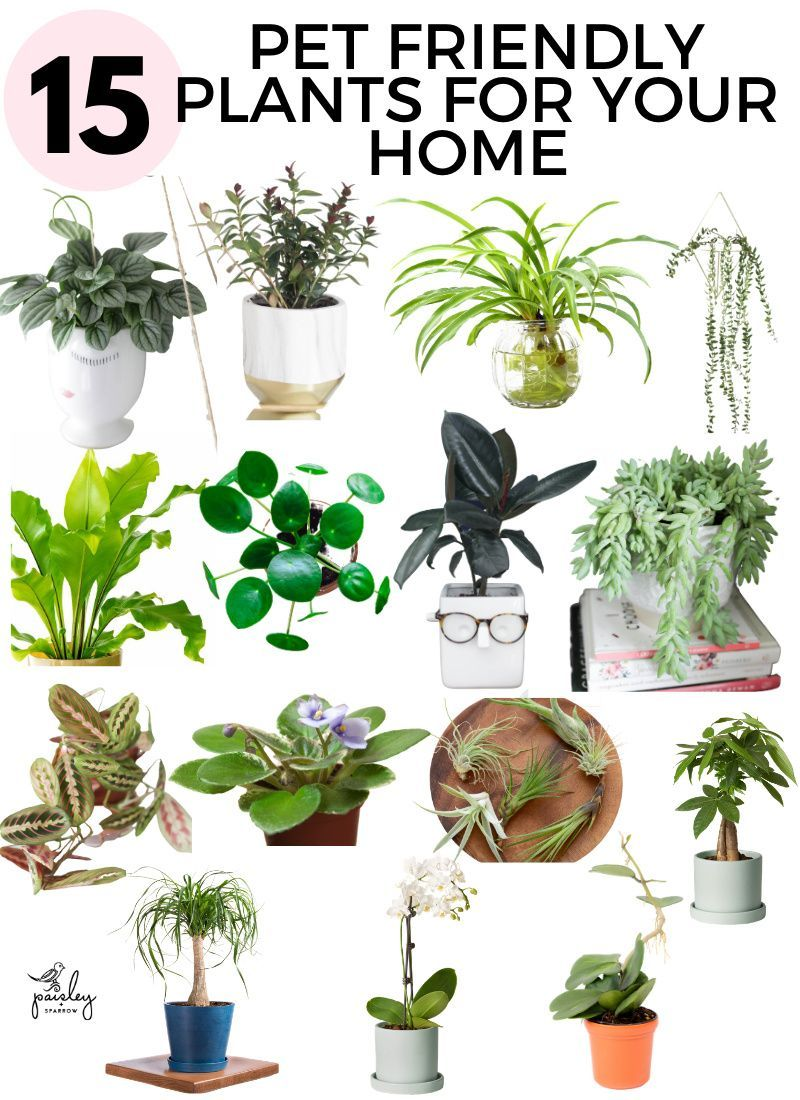 15 Pet Friendly Houseplants Safe For Cats And Dogs Paisley Sparrow In 2020 Houseplants Safe For Cats Plants House Plants Indoor