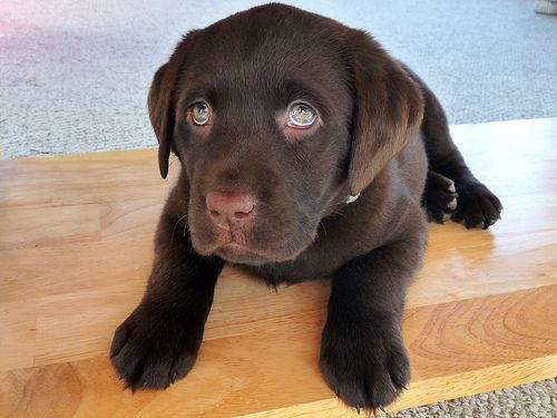 Chocolate Lab Puppy Chocolate Lab Puppies Lab Puppies Little Reasons To Smile