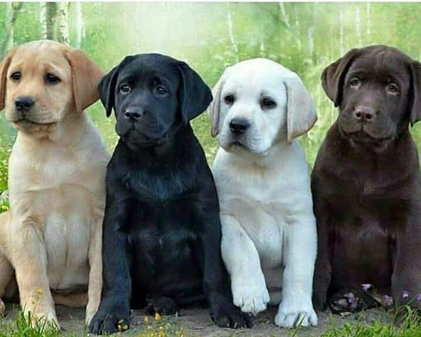 Lab Pups Yellow Black White And Chocolate Cute Labrador Puppies Black Labrador Retriever Labrador Retriever