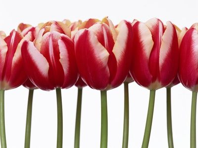 Red Tulips, Close Up, White Background Photographic Print