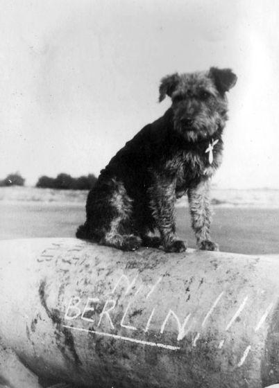 Terrierman S Daily Dose Ciapek Lives Guerre Mondiale Chien Guerre