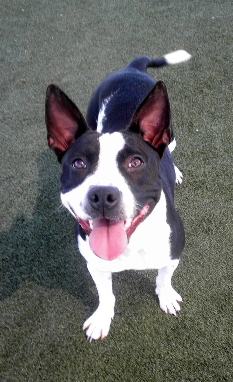 Boston Terrier And Staffy Mix Baby Is The Cutest Sweetest Funniest Little Girl Small And Petite Just 35 Most Beautiful Dogs Boston Terrier Beautiful Dogs