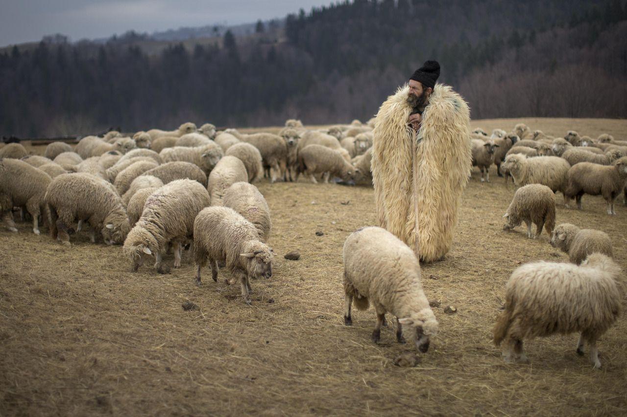 глазок-такое картинка пастуха с бараном можно готовить другими
