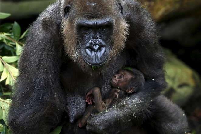 Baby gorilla, Taronga Zoo, Sydney, Australia - DAVID GRAY/Newscom/Reuters
