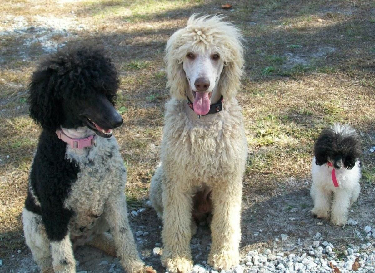 Akc Ckc Double Registered Standard Poodle Puppies In Richlands