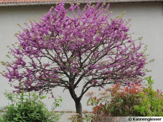arbre de jud e gainier cercis siliquastrum arbre de jud e les printemps et printemps. Black Bedroom Furniture Sets. Home Design Ideas