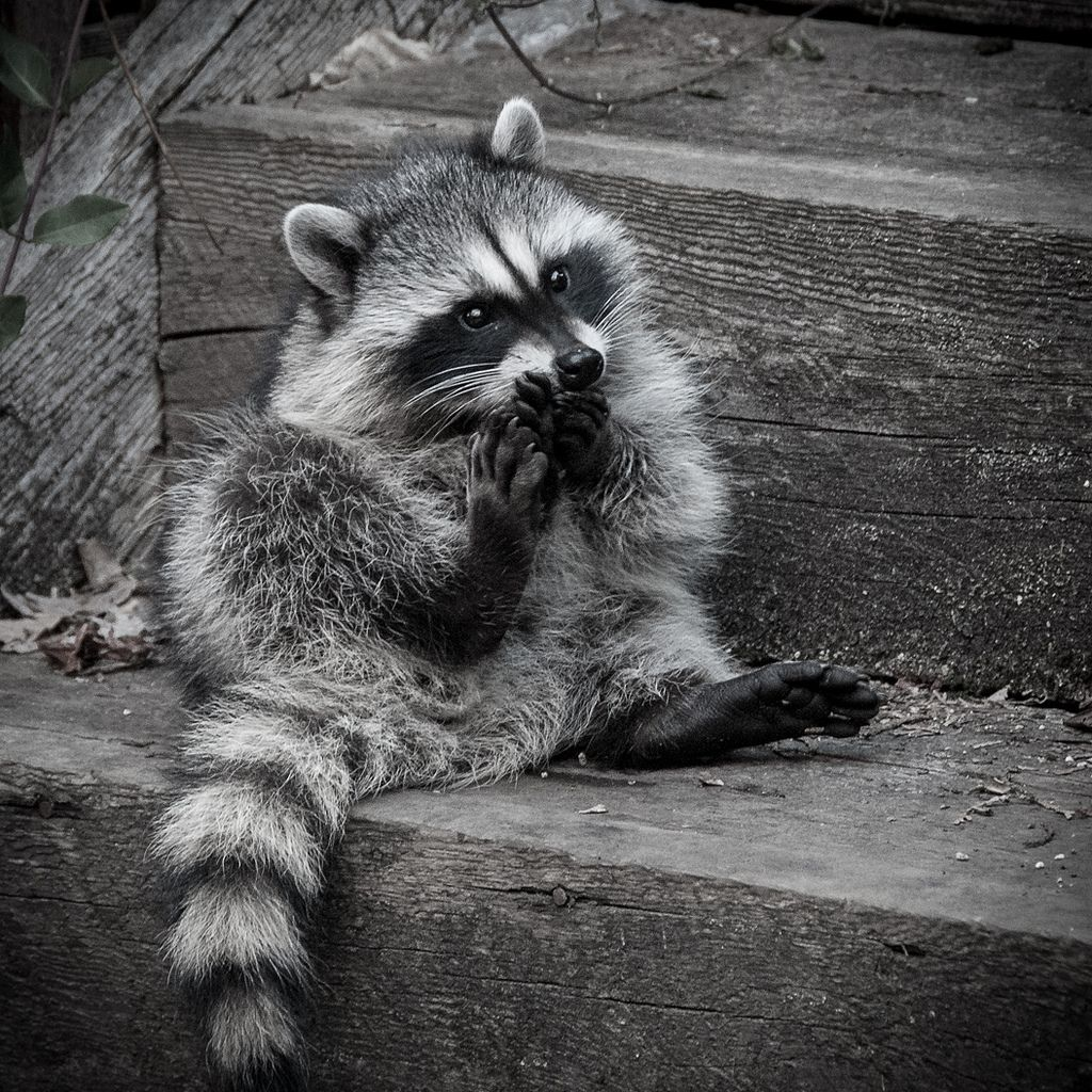 Unwrittennature Clean Toes By Old Stone Nancy Cute Raccoon Animals Beautiful Cute Animals