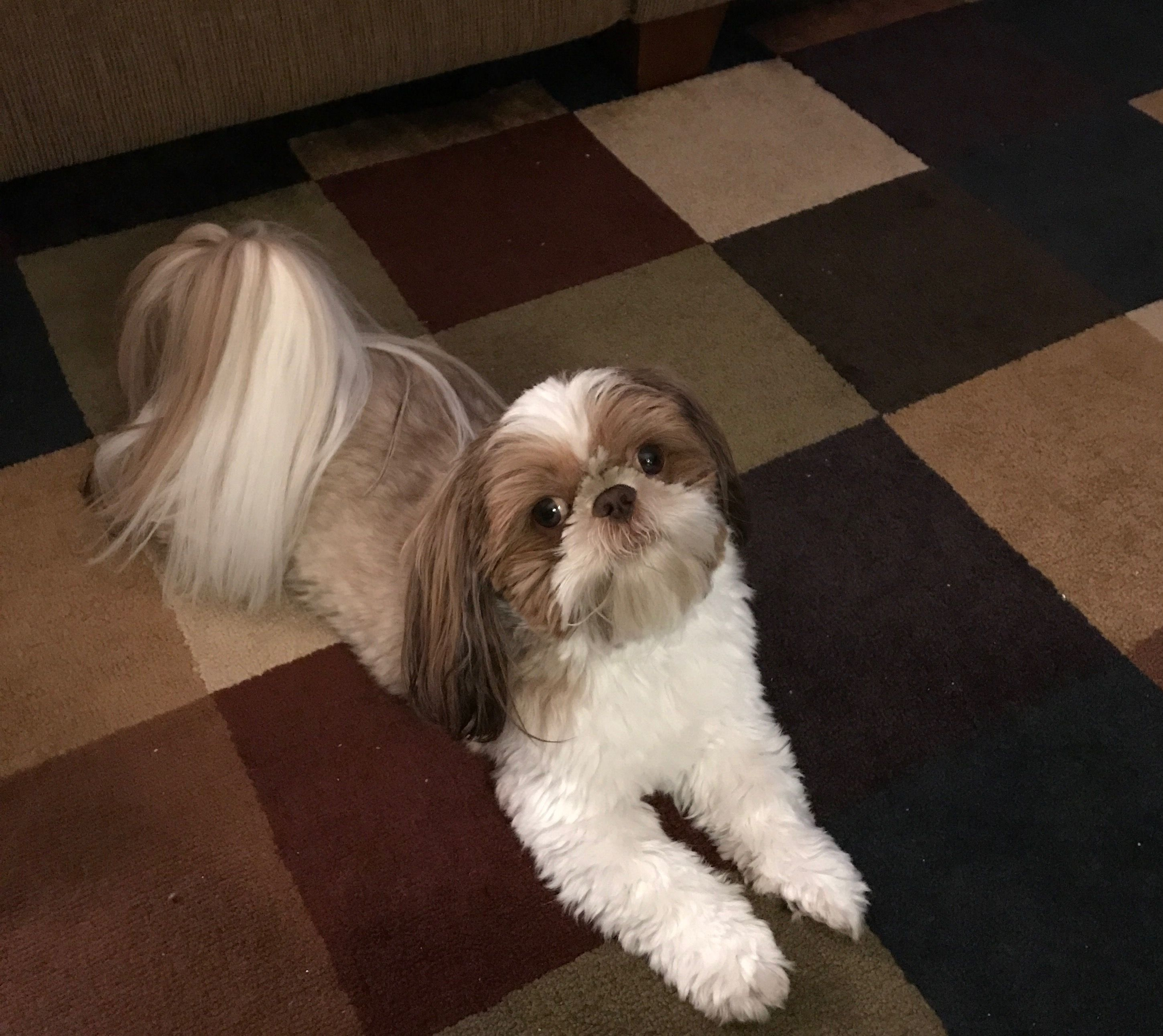 Shih Tzu Puppies For Sale | McMinnville, TN #302854