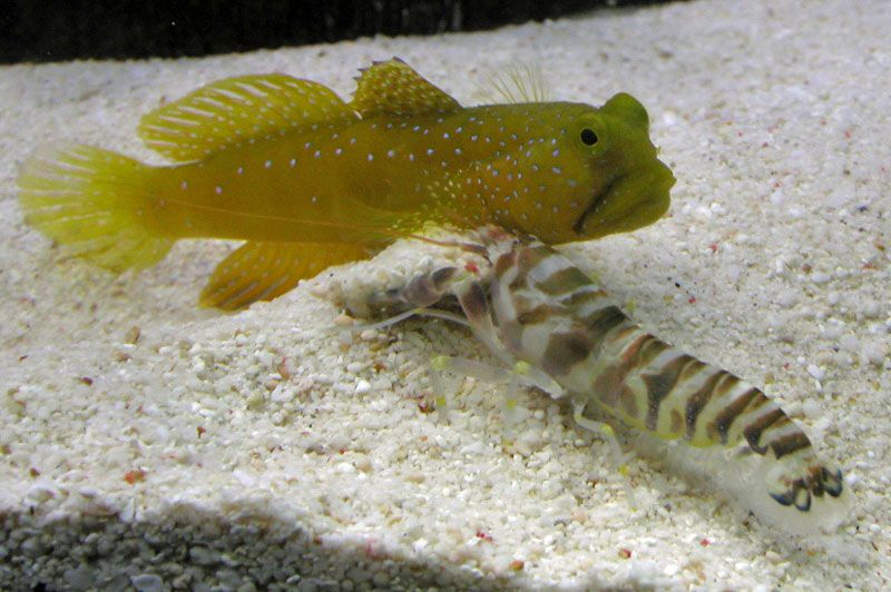 Yellow watchman goby with pistol shrimp they came as a for Yellow saltwater fish