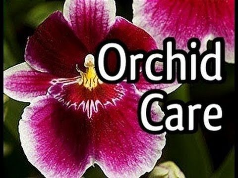 Miltoniopsis Orchid Care and how to bloom your Orchid. Tips for Orchid watering and lighting & Miltoniopsis Orchid Care and how to bloom your Orchid. Tips for ... azcodes.com