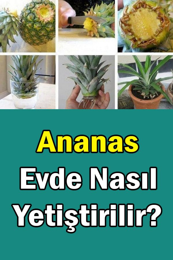 Ananas Evde Nasıl Yetiştirilir? #plantsindoor