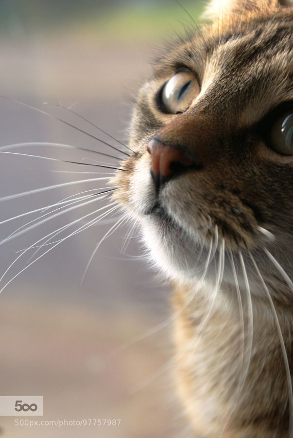 Eyes & Whiskers by NeilSimmons. For more photos: http://photos-cats-kittens.tumblr.com @go4fotos