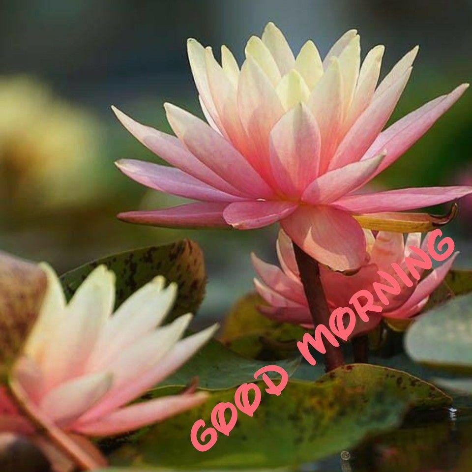 Pin by sai valli valli on good morning pinterest morning messages good morning lotus mornings buen dia lotus flower bonjour lotus flowers izmirmasajfo Gallery