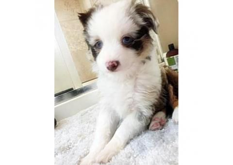 Toy Australian Shepherd Puppies Blue Eyes Puppies For Sale