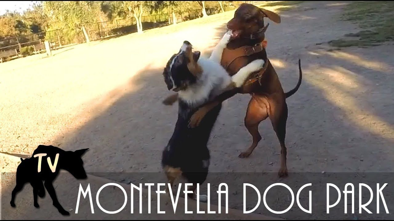 Australian Shepherd Vs Doberman Dog Park Vlogs Doberman Dogs Dogs Dog Park