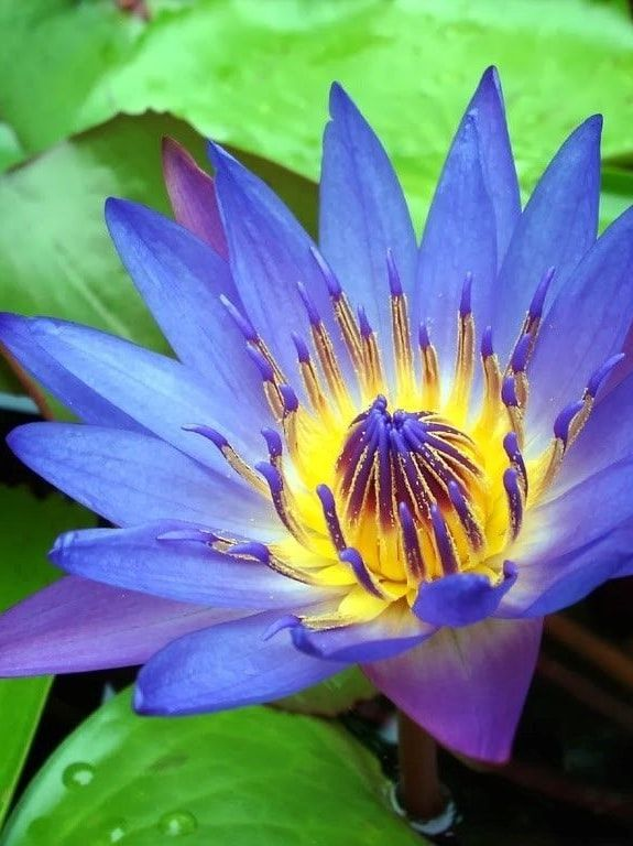 The ancient egyptians knew what was up nootropes pinterest the ancient egyptians knew what was up lotus flowerslotus mightylinksfo